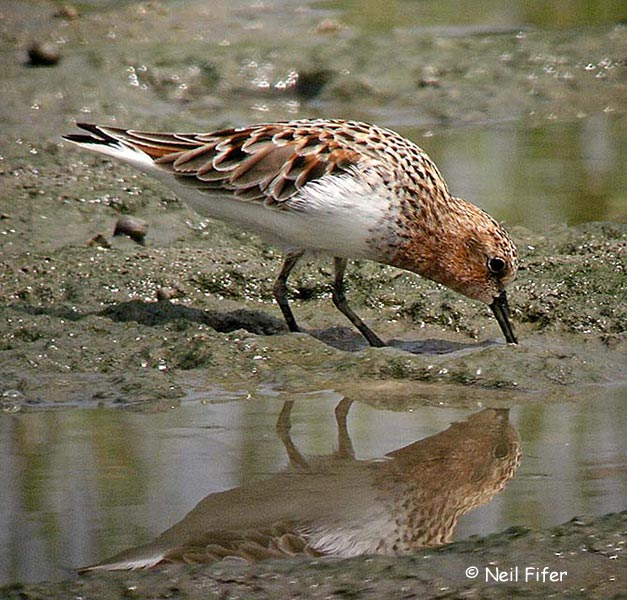Red-necked Stint - Neil Fifer