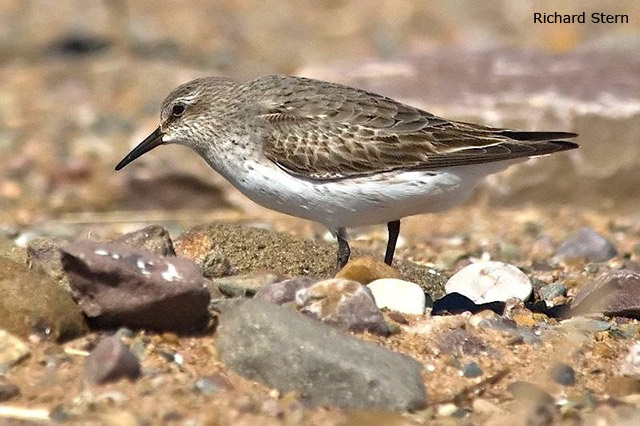 White-rumped Sandpiper - Richard Stern