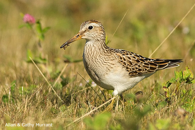 Pectoral Sandpiper - Allan and Cathy Murrant