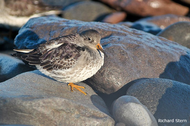 Purple Sandpiper - Richard Stern