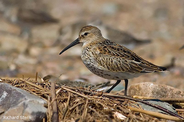 Dunlin - Richard Stern