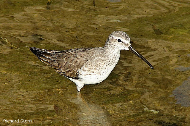 Stilt Sandpiper - Richard Stern