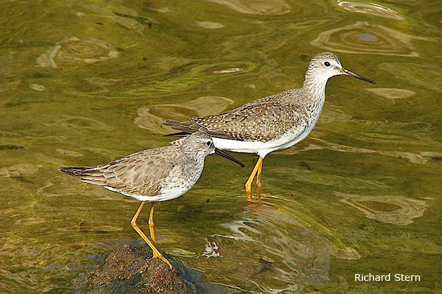 Stilt Sandpiper (foreground) - Richard Stern