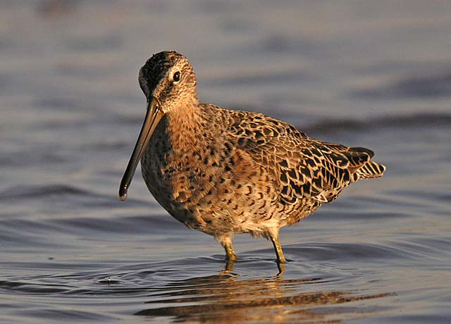 Short-billed Dowitcher - Neil Fifer