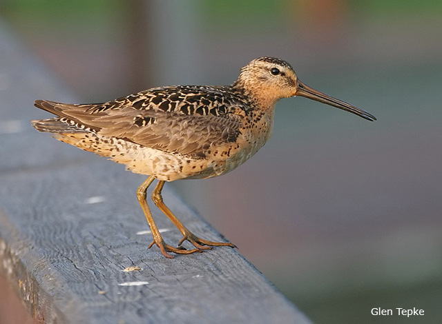 Short-billed Dowitcher - Glen Tepke