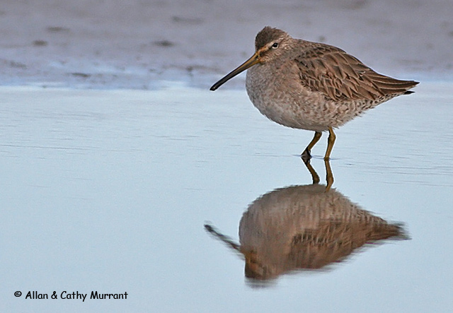 Long-billed Dowitcher - Allan and Cathy Murrant