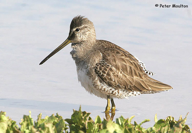 Long-billed Dowitcher - Peter Moulton