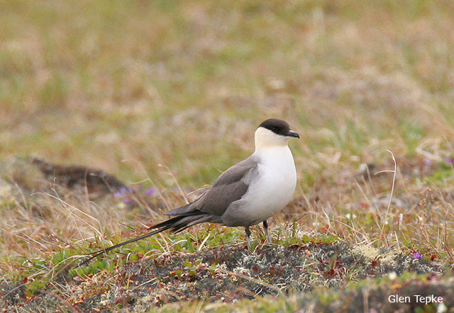 Long-tailed Jaeger - Glen Tepke