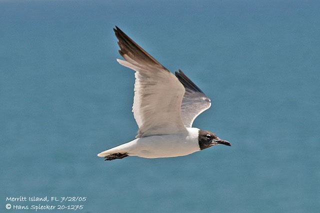 Laughing Gull - Hans Spiecker