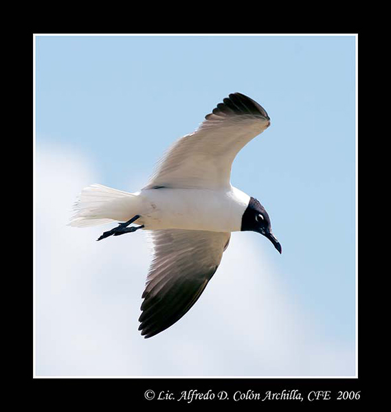 Laughing Gull - Alfredo D. Colon