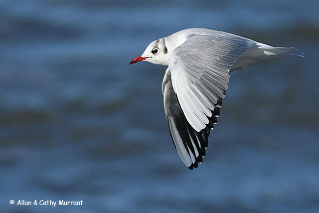 Black-headed Gull - Allan and Cathy Murrant