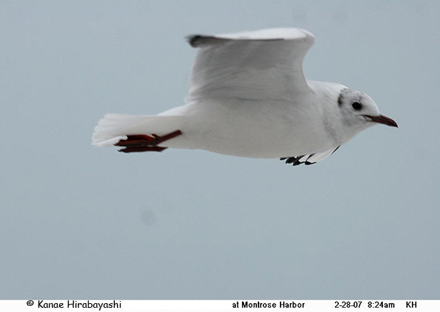 Black-headed Gull - Kanae
