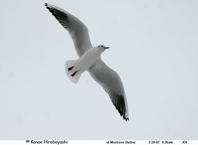 Black-headed Gull - Kanae Hirabayashi