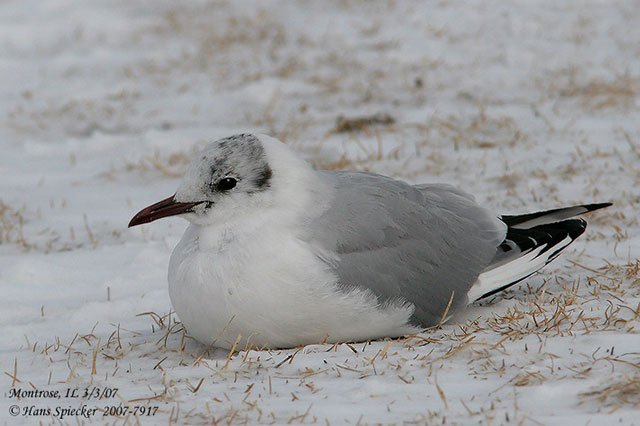 Black-headed Gull - Hans Spiecker