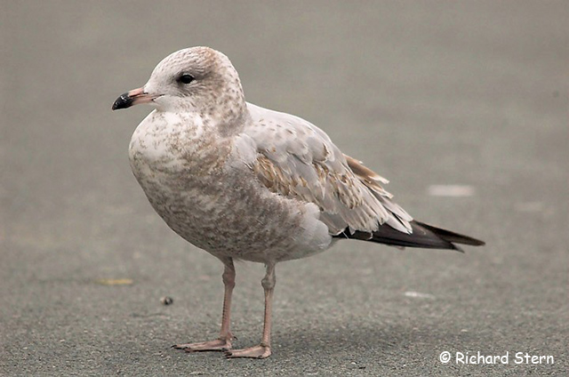Ring-billed Gull - Richard Stern