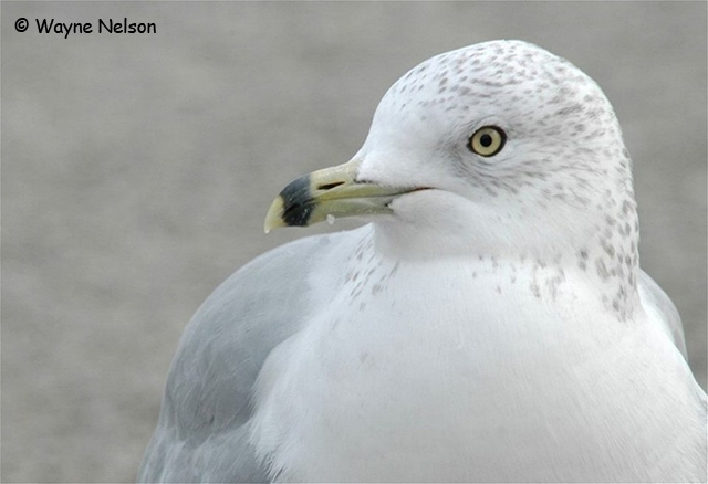 Ring-billed Gull - Wayne Nelson
