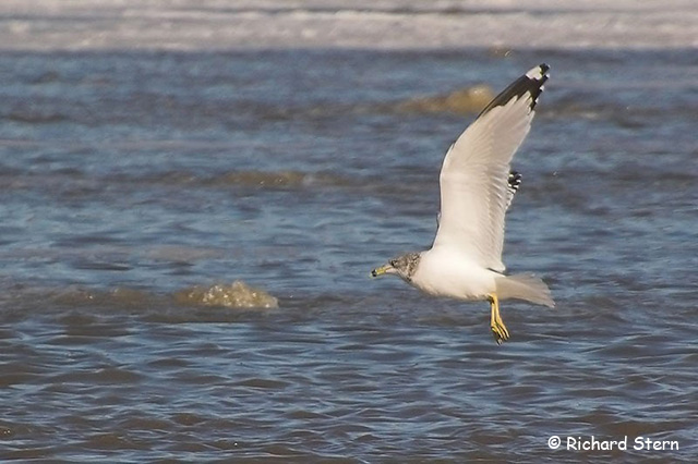 Ring-billed Gull - Richard Nelson