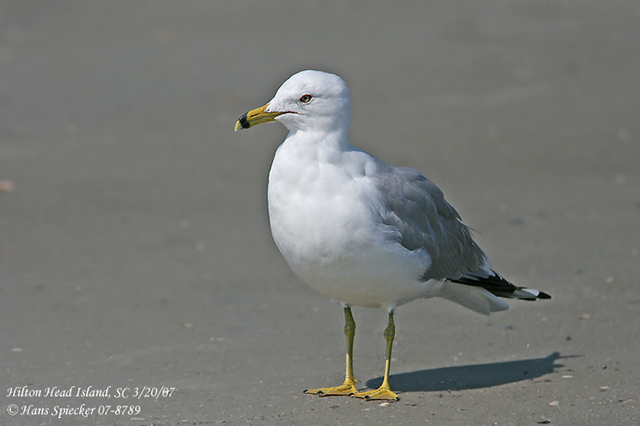 Ring-billed Gull - Hans Spiecker
