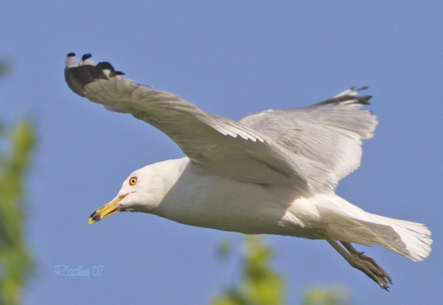 Ring-billed Gull - Claude Radley