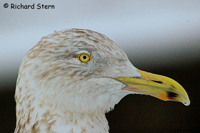Herring Gull - Richard Stern