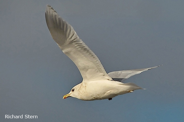 Iceland Gull - Richard Stern