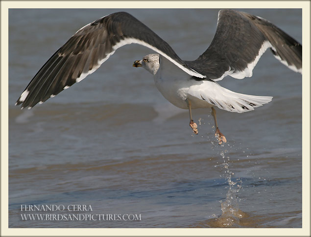 Lesser Black-backed Gull - Fernando Cerra