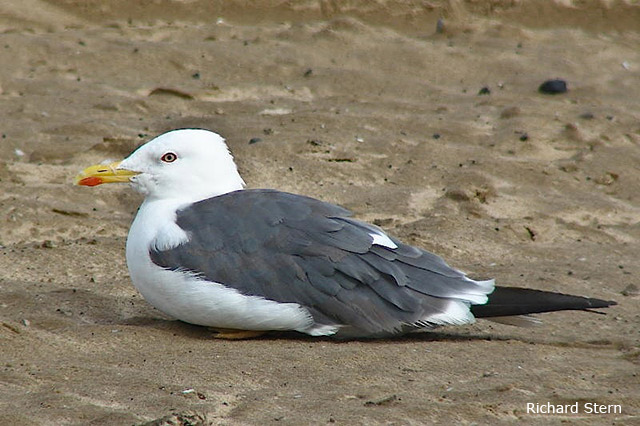 Lesser Black-backed Gull - Richard Stern