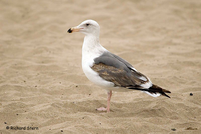 Western Gull - Richard Stern