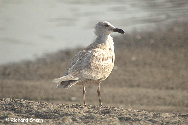 Glaucous-winged Gull - Richard Stern