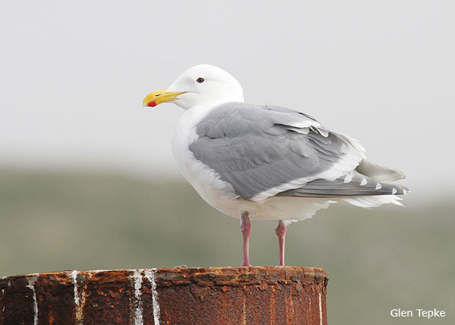Glaucous-winged Gull - Glen Tepke