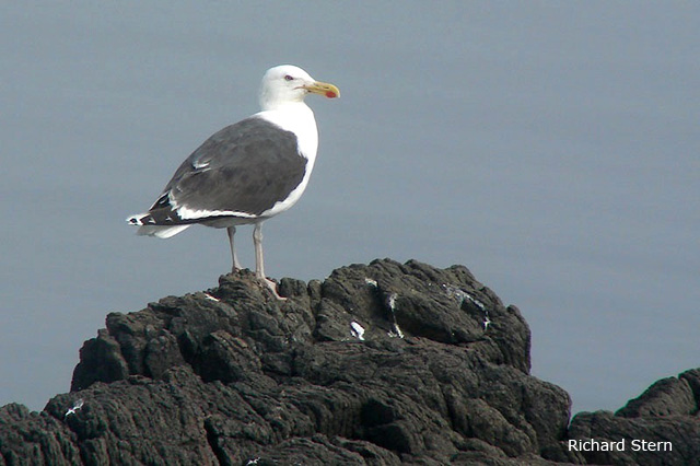 Great Black-backed Gull - Richard Stern