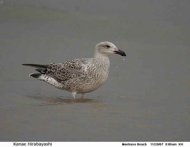 Great Black-backed Gull - Kanae Hirabayashi