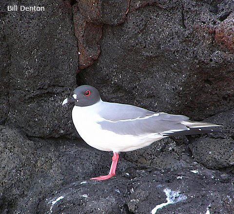 Swallow-tailed Gull - Bill Denton