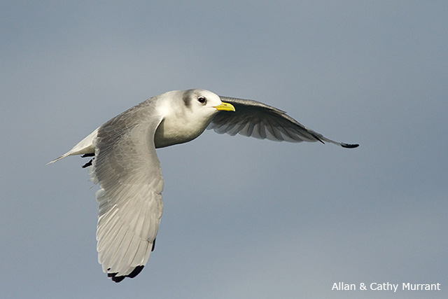 Black-legged Kittiwake - Allan and Cathy Murrant