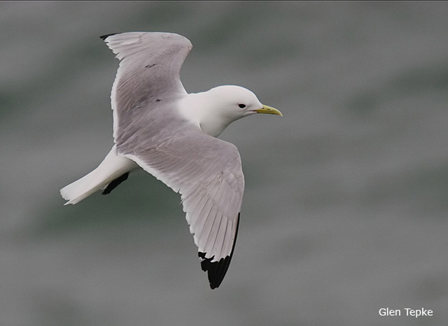 Black-legged Kittiwake - Glen Tepke
