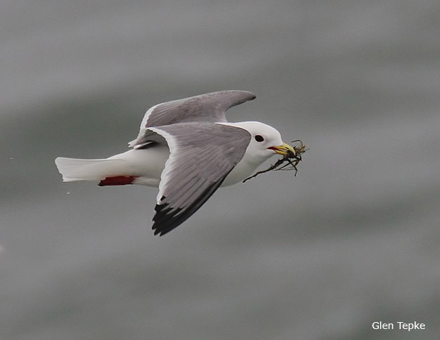 Red-legged Kittiwake - Glen Tepke