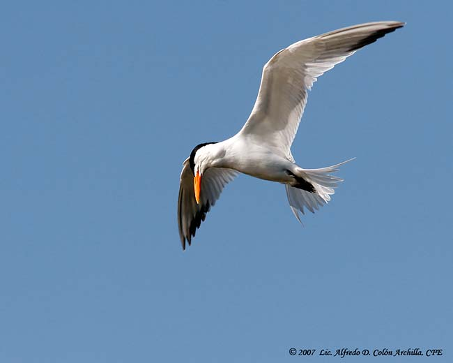 Royal Tern - Alfredo D. Colon