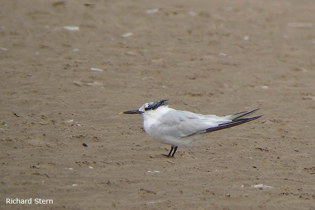 Sandwich Tern - Richard Stern
