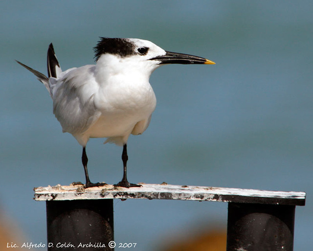 Sandwich Tern - Alfredo D. Colon