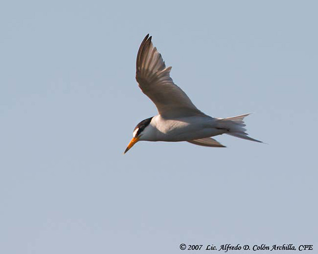 Least Tern - Alfredo D. Colon