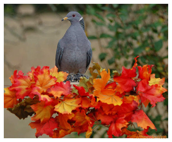 Band-tailed Pigeon - Proffittshollow
