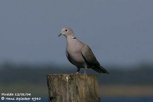 Eurasian Collared Dove - Hans Spiecker