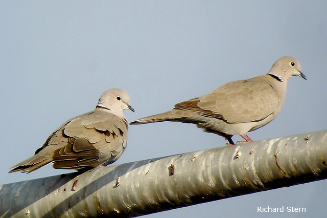 Eurasian Collared Dove - Richard Stern