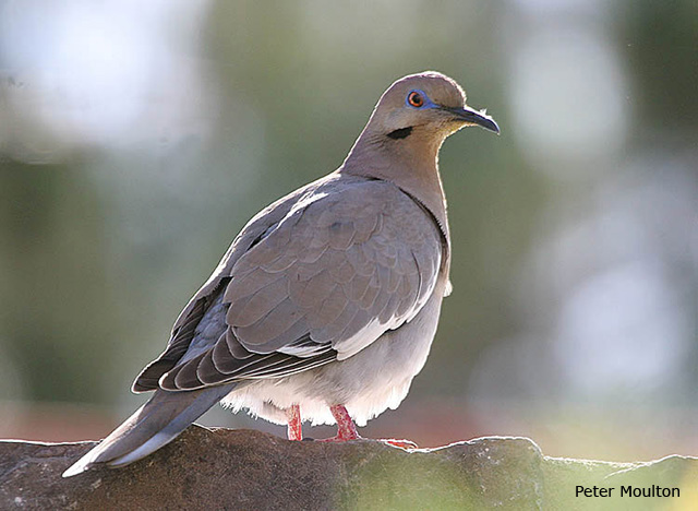 White-winged Dove - Peter Moulton