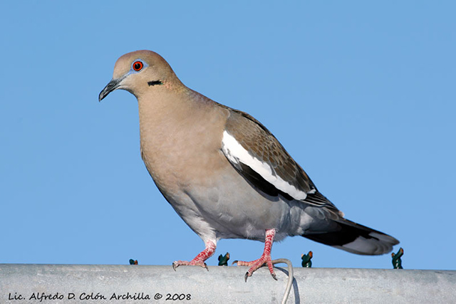 White-winged Dove - Alfredo D. Colon
