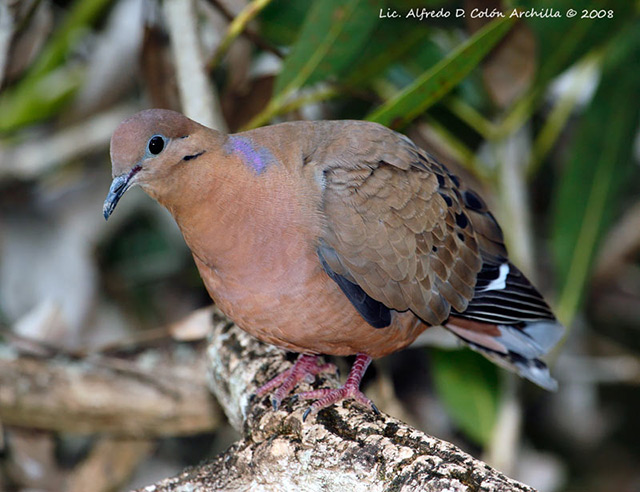 Zenaida Dove - Alfredo D. Colon