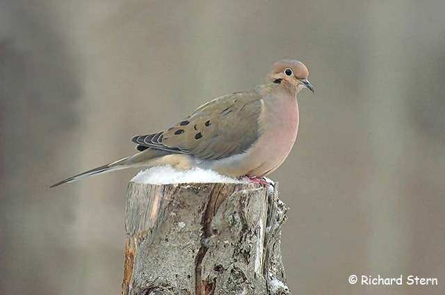 Mourning Dove - Richard Stern