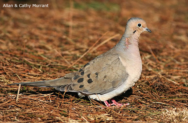 Mourning Dove - Allan and Cathy Murrant