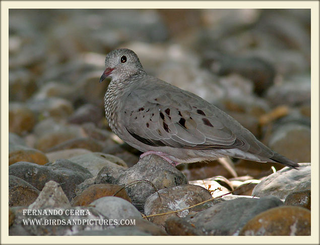 Common Ground Dove - Fernando Cerra
