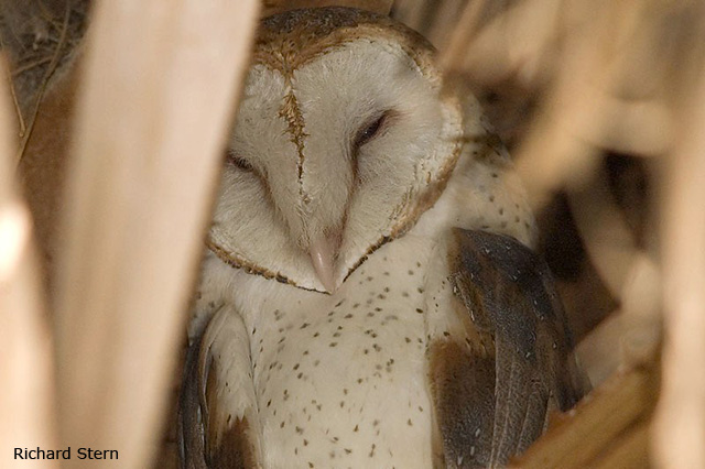 Barn Owl - Richard Stern